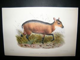 After Joseph Wolf 1866 Hand Col Print. Cephalophus Breviceps